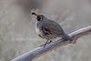 Gambel's Quail, Callipepla gambelii, Bosque del Apache National Wildllife Refuge, New Mexico, USA, North America