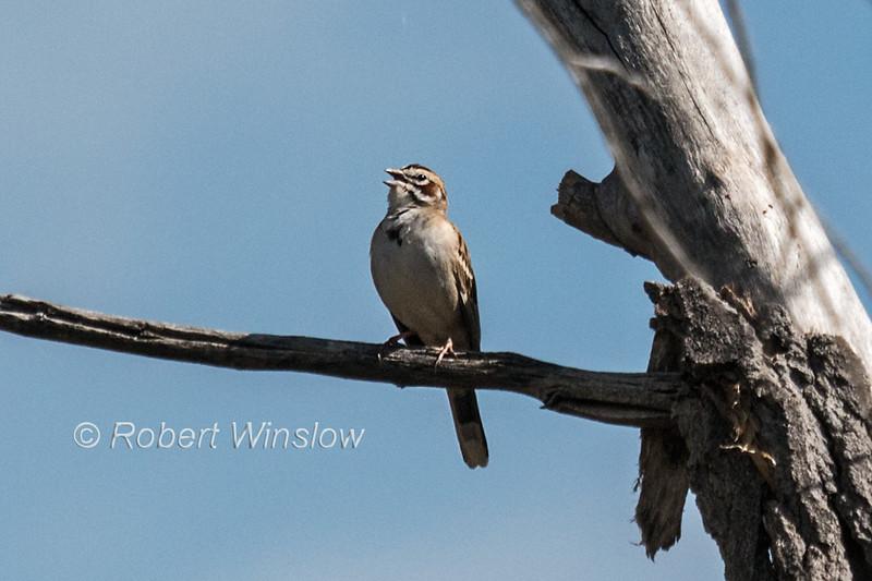 Lark Sparrow, Chondestes grammacus, La Plata County, Colorado, USA, North America