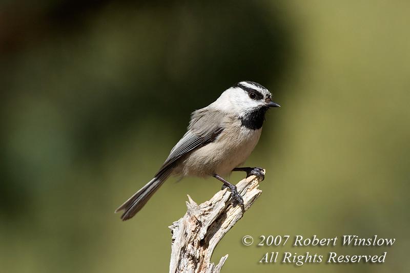 Mountain Chickadee, Parus gambeli, La Plata County, Colorado, USA, North America