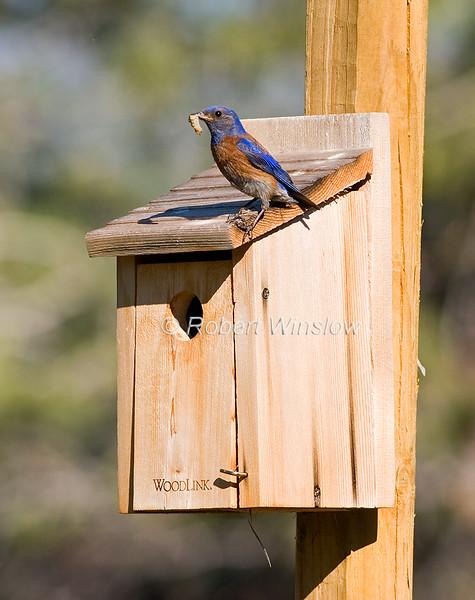 Male Western Bluebird, Sialia mexicana, Food in its bill,  La Plata County, Colorado, United States, North America