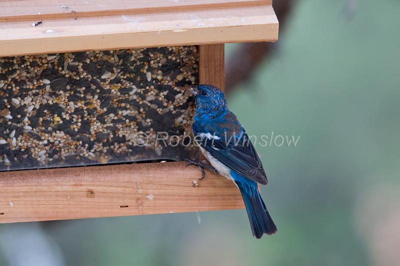 Lazuli Bunting, Passerina amoena, at a Bird Feeder, La Plata County, Colorado, USA, North America