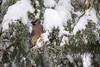 Cedar Waxwing, Bombycilla cedrorum, La Plata County, Colorado