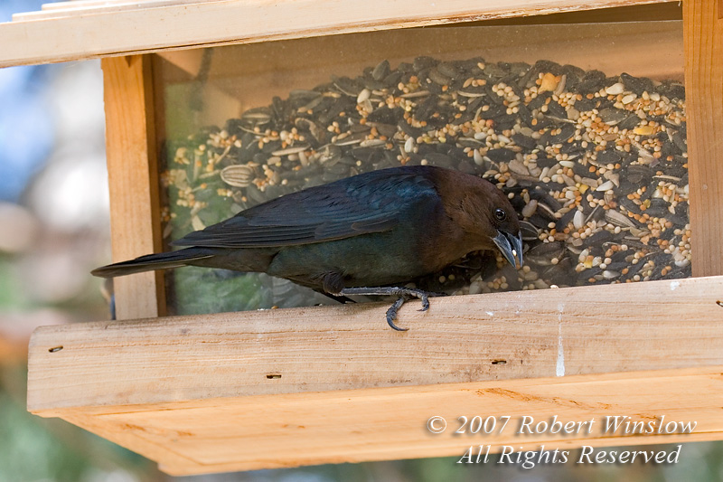 Male Brown-headed Cowbird, Molothrus ater, At a Bird Feeder, La Plata County, Colorado, USA, North America