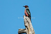 Lewis's woodpecker, Melanerpes lewis, La Plata County, Colorado, USA, North America