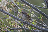 Song Sparrow, Melospiza melodia, La Plata County, Colorado, USA, North America