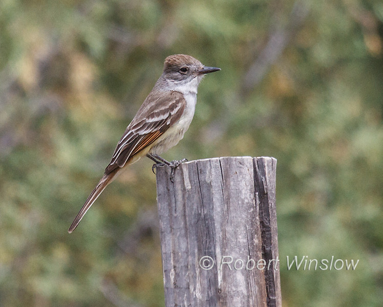 Ash-throated Flycather, Myiarchus cinerascens, La Plata County, Colorado, USA, North America