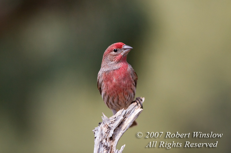 Male House Finch, Carpodacus mexicanus, La Plata County, Colorado, USA, North America