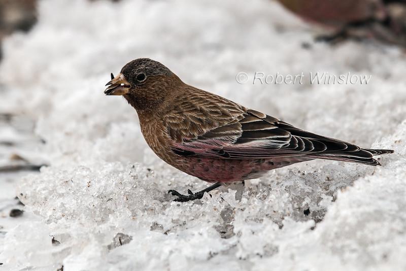 Brown-capped Rosy Finch, Leucosticte australis, Silverton, Colorado, USA, North America