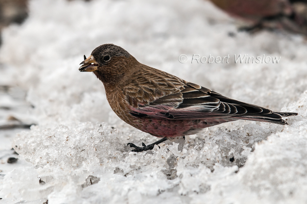 Brown-capped Rosy Finch, Leucosticte australis, Silverton, Colorado, USA, North America