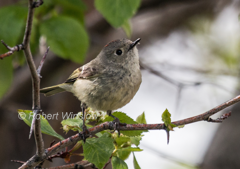 Ruby-crowned Kinglet, Regulus calendula, La Plata County, Colorado, USA, North America