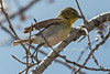 Yellow-throated Vireo, Vireo flavifrons, La Plata County, Colorado, USA, North America