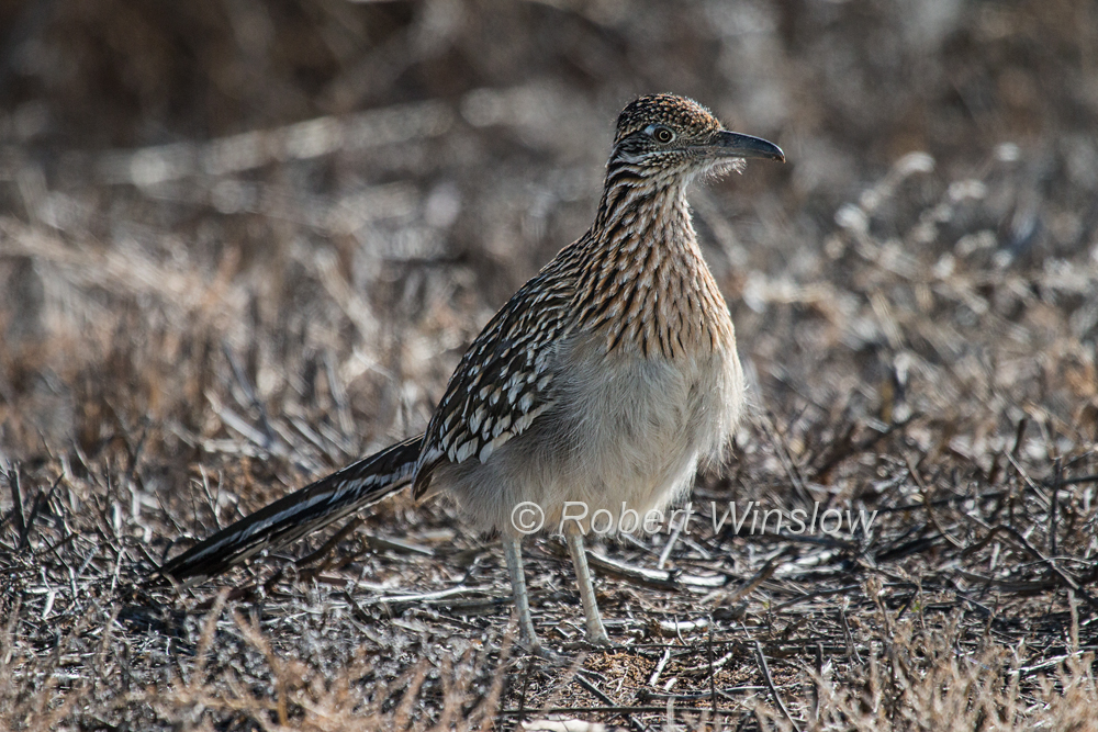 Greater Roadrunner, Geococcyx californianus, Bosque del Apache National Wildlife Refuge, New Mexico, USA, North America
