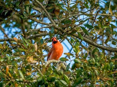 2019-02-11_Northern Cardinal,_--2110026