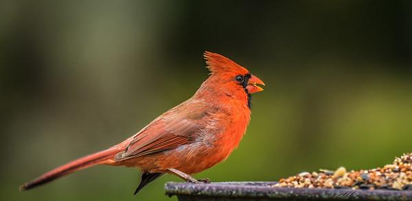 Cardinal   (am blu)   2018-03-02-3020008