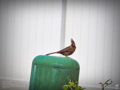 P5150002_2020-05-15_001_northern cardinal