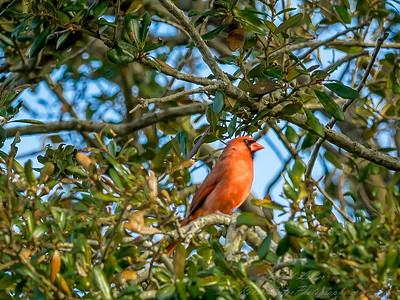 2019-02-11_Northern Cardinal,_--2110025