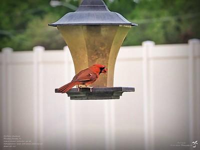 P5150009_2020-05-15_005_northern cardinal