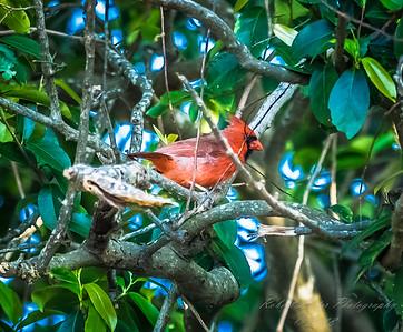 Northern Cardinal    (paw bath)   2018-03-05-3050044