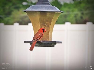 P5150018_2020-05-15_008_northern cardinal