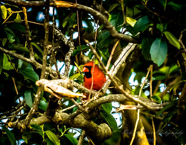 Northern Cardinal    (20widlife,NRlum50)   2018-03-05-3050047