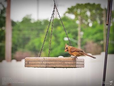 P5150005_2020-05-15_003_northern cardinal