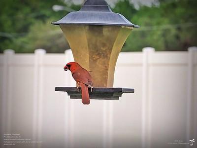 P5150014_2020-05-15_007_northern cardinal