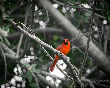 Northern Cardinal    (manual)   2018-02-24-2240078