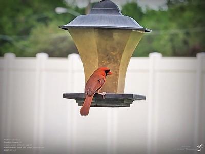 P5150012_2020-05-15_006_northern cardinal