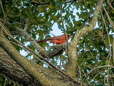 2019-02-11_Northern Cardinal,_--2110018