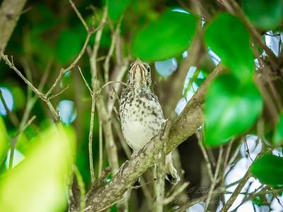 2019-06-12_ 1010am Mockingbird fledgling_12_photographic