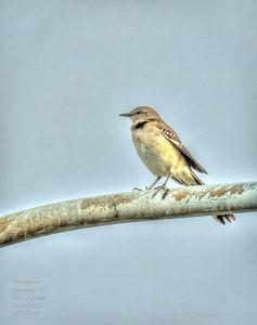 PA190029_mockingbird_painterly,nr50