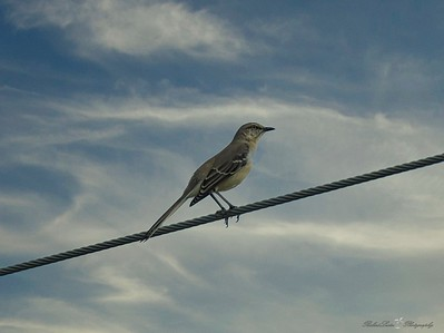 _B130111_Northern Mockingbird