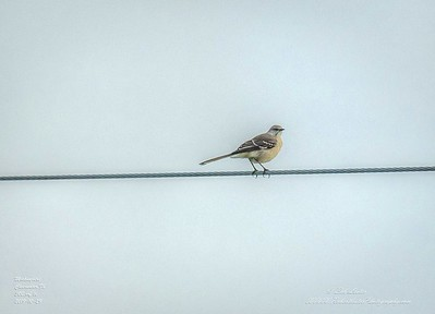 _A290206_ mockingbird_ detailednr0