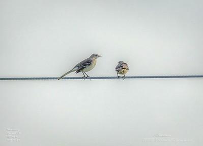_A290199_ mockingbird_ detailednr0