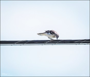 P6120174_Mockingbird
