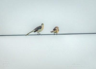 _A290205_ mockingbird_ detailednr0