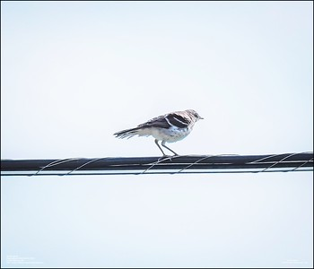 P6120178_Mockingbird