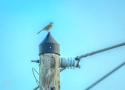 _A290195_ mockingbird_ detailednr0