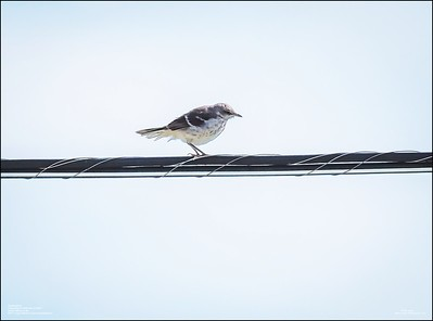 P6120169_Mockingbird