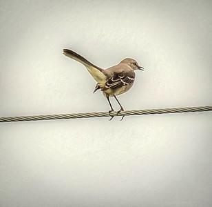 2018-11-05_PB050050_ 300  mockingbird