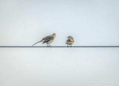 _A290202_ mockingbird_ detailednr0