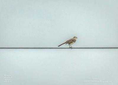 _A290229_ mockingbird_ detailednr0