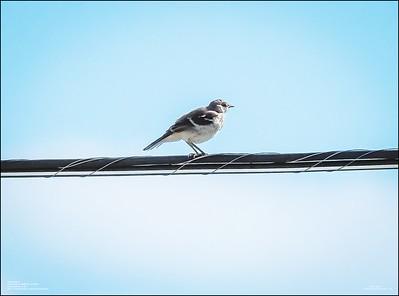 P6120159_Mockingbird