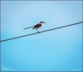 P6120180_Mockingbird