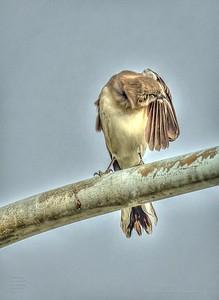 PA190023_mockingbird_painterly,nr50
