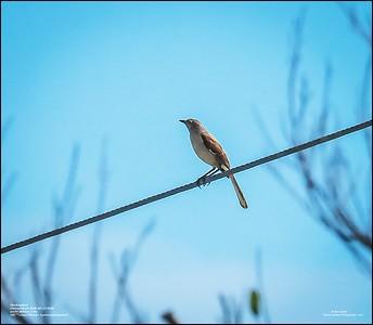 P6120189_Mockingbird