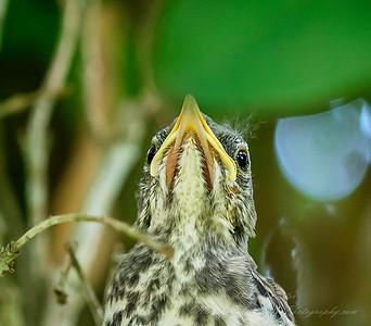 2019-06-12_ 1010am Mockingbird fledgling_17_photographic
