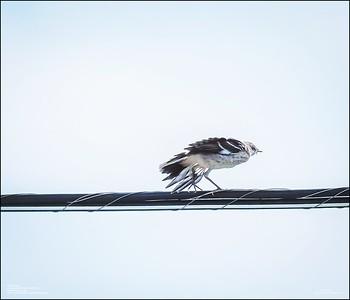 P6120177_Mockingbird