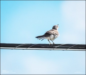 P6120194_Mockingbird