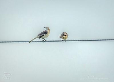 _A290204_ mockingbird_ detailednr0